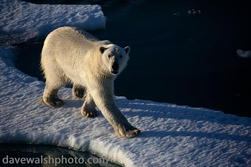Polar Bear: © Dave Walsh