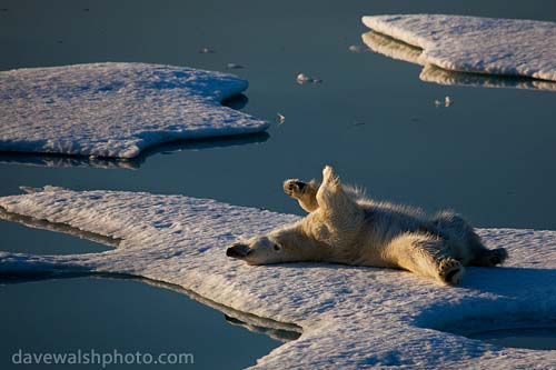 _MG_2282-_polar_bear_20090802_500.jpg