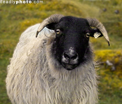 Sheep of DOOM