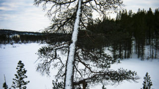 Snow on tree, Lapland, Finland