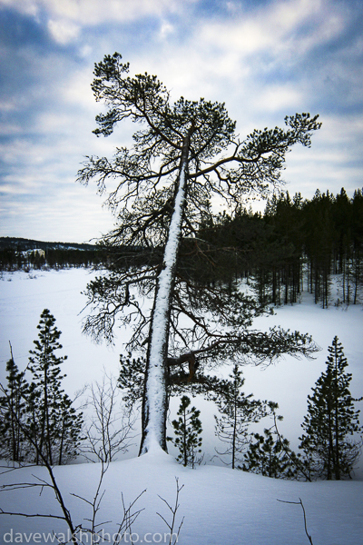 Snow on tree, Lapland, Finland. © Dave Walsh 2005