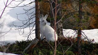 Mountain Hare, Inari, Lapland, Finland