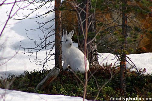 Mountain Hare, Inari, Lapland, Finland. Lepus timidus