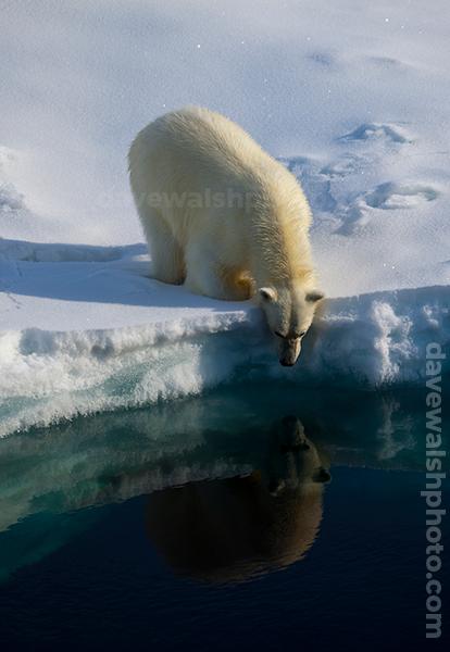 Polar Bear, Arctic Ocean