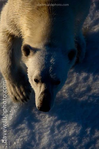 Nanuk: Polar Bear, Ursus Maritimus