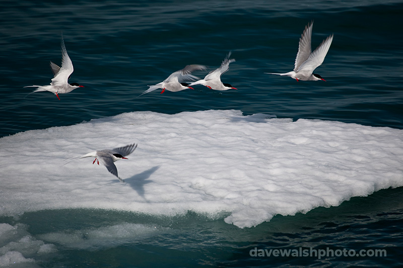Arctic Terns near Humboldt Glacier