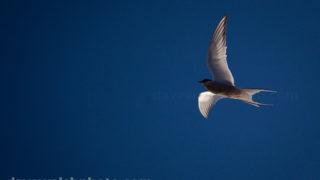 Arctic tern, Sterna Paradisaea