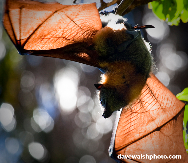 Grey Headed Flying Fox Pteropus poliocephalus