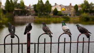 Five Pigeons, Dublin