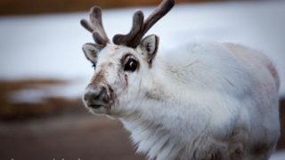 Svalbard Reindeer, Ny-Alesund