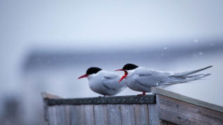 Two Arctic Terns, sterna paradisea, perched near the dog yard Ny Alesund, Svalbard. These terns migrate more than any other species bird - up to 35,000km per year for some birds, as the travel to Antarctica and back, and can enjoy two polar summers. The t