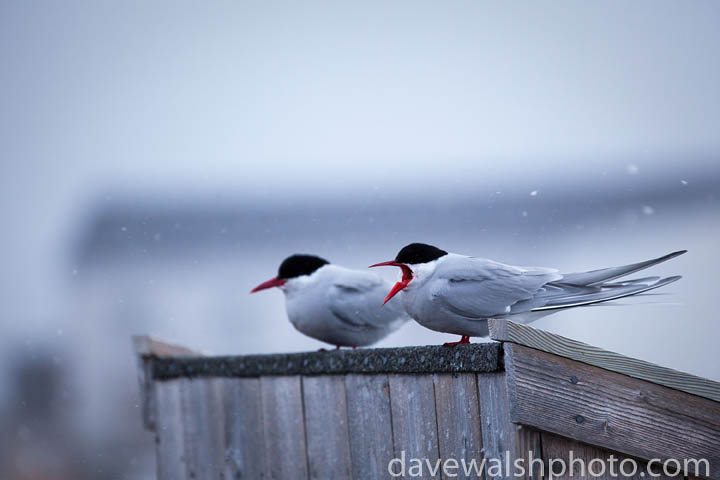 Arctic Tern, sterna paradisea, preparing to mate and nest in the Arctic scientific research village of Ny-Alesund, Svalbard