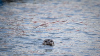 Seal in the harbout at Ny-Alesund