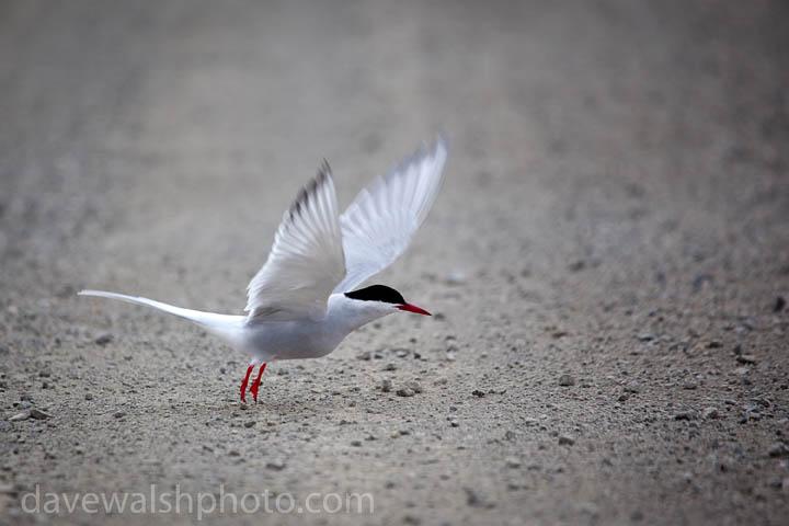 Arctic Tern, sterna paradisea, Ny Alesund