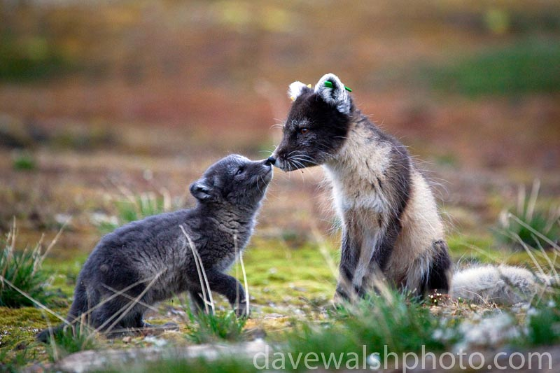Arctic Fox mother and cub, Ny-Alesund