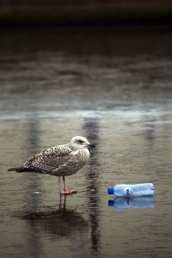 Discarded water bottle and seagull on a frozen canal, Amsterdam