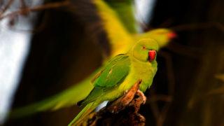 Rose-ringed parakeet, Amsterdam