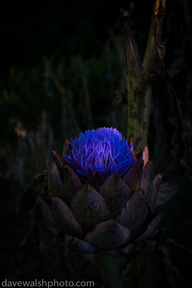 Globe Artichoke in bloom