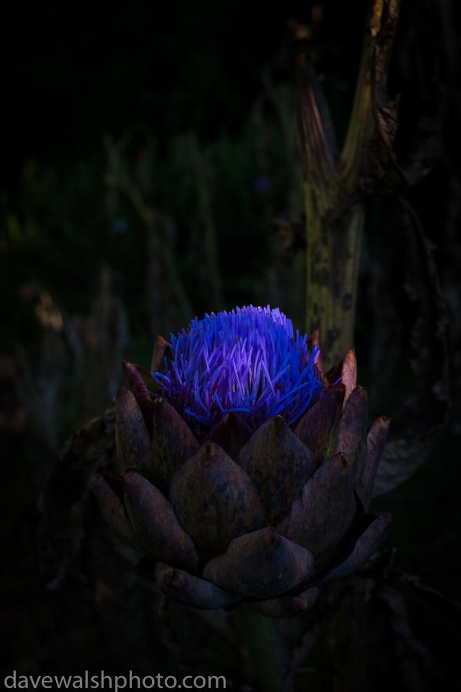 Globe Artichoke in bloom
