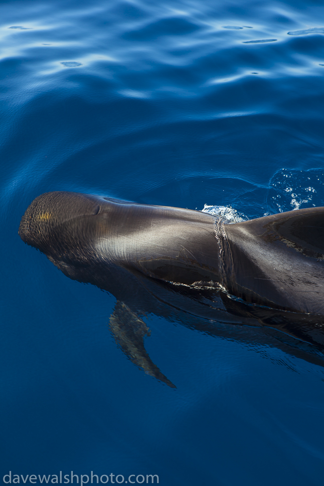 Whalewatching Tenerife: Pilot whales