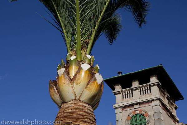 Palm tree, Soller, Mallorca