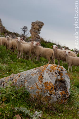 Sheep at the ancient city of Polyrina, Crete, Greece