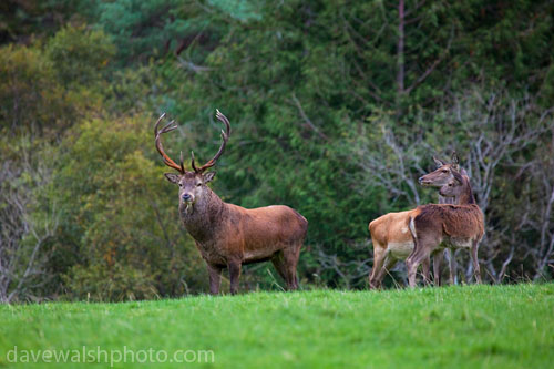 _MG_3271-red_deer_kerry_20111003_500