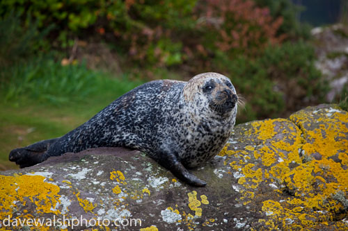 Common Seal, Glengarrif