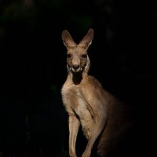 Kangaroo, Mount Kosciuszko National Park