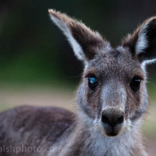 Freaky kangaroo - eye defect