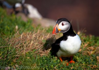 Atlantic Puffin, Fratercula arctica, on cliffs at the Saltee Islands, off the coast of Wexford, Ireland.